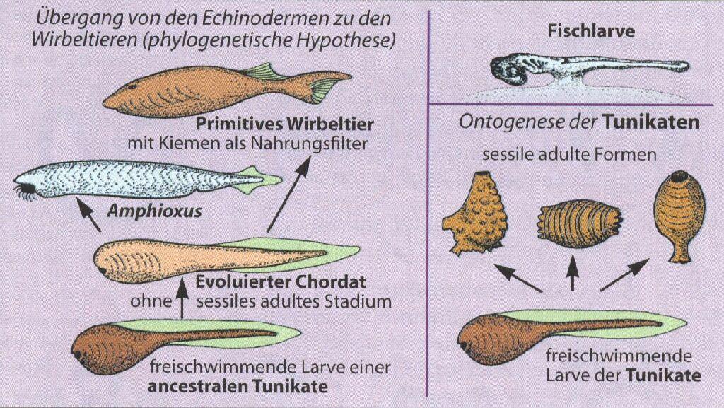 Abb. 274: Hypothetische Evolution Wirbeltiere