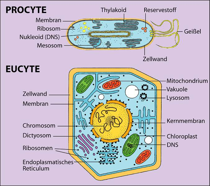 Hypothesis and the Origin of Eukaryotic Cell | Biology